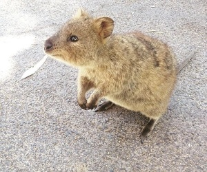 travel, quokka, and animals image