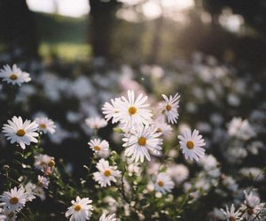 chamomile, Dream, and life image
