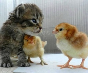 cat, Chick, and kitten image