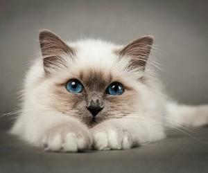 amazing, animals, and blue cat image