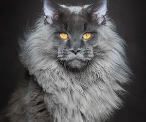 cats, maine coon, and animals image