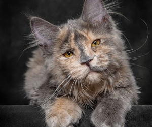 animals, cats, and maine coon image