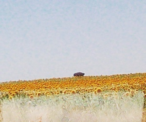 aesthetic, country, and sunflowers image