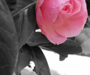 nature, pretty, and pinkroses image