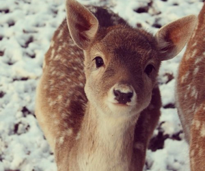 animals, deer, and snow image
