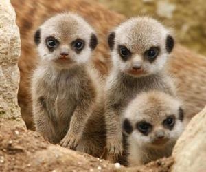 animal, meerkat, and baby image