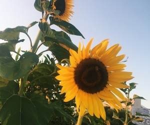 cyprus, sunflowers, and nature image