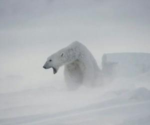 bear, his dark materials, and Polar Bear image
