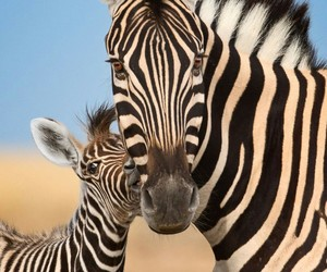 animals, nature, and zebra image