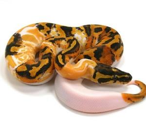 snakes and ball python image