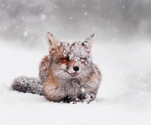 snow, fox, and animal image