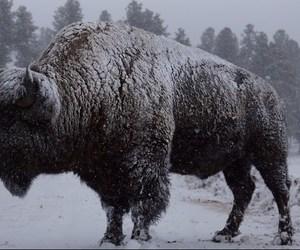 bison, buffalo, and snow image