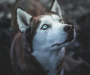 dog, wolf, and cute image