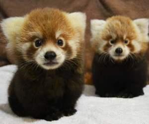 Red panda and animals image