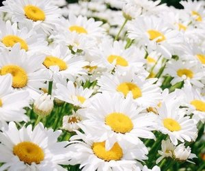 daises, daisy, and delicious image