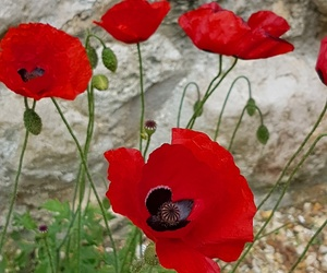 beauty, never forget, and poppy image