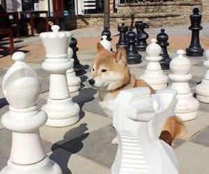 animal, dog, and shiba image