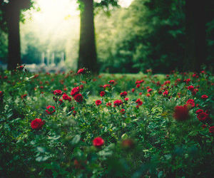 photography, roses, and flowers image