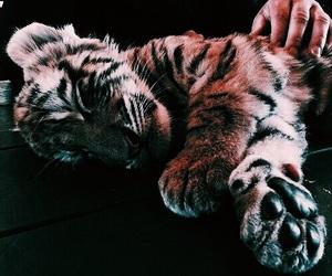 animal, tiger, and baby image