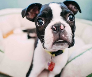 animals, boston terrier, and dogs image