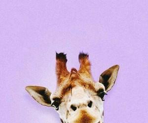 jirafa, purple, and wallpaper image