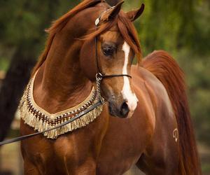 arabian, chestnut, and horse image