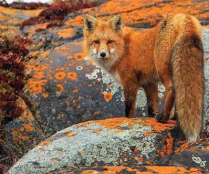 animal and fox image