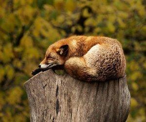 fox, animal, and sleeping image