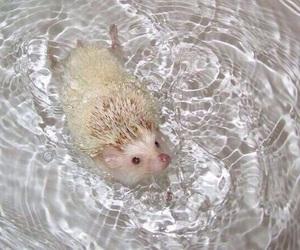 hedgehog, animal, and white image