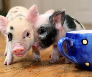 pigs and friends image