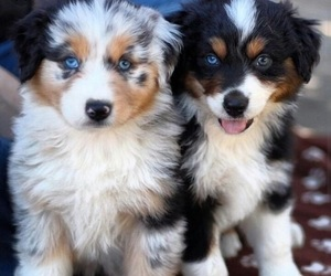 adorable, dogs, and pets image