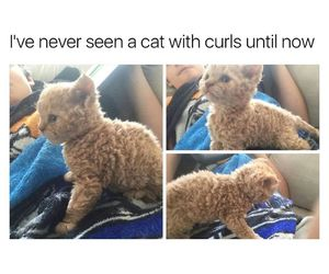 cat, curley hair, and cute image