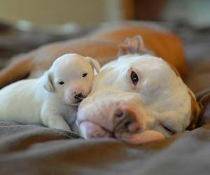 puppy, dog, and pitbull image