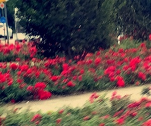 backyard, roses, and flower garden image