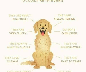 dog, golden, and retriever image