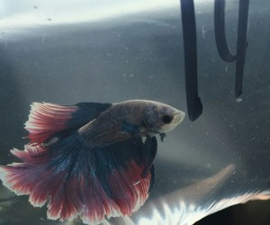 animal, betta, and blue image
