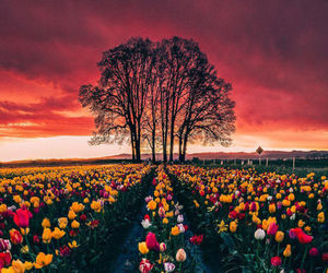flowers, sunset, and tulip image