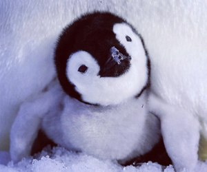 animal, cute, and penguin image