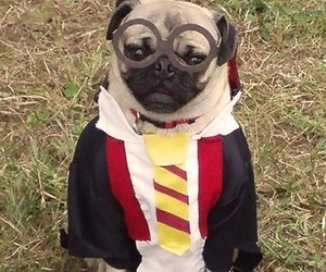 pug, costume, and harry potter image