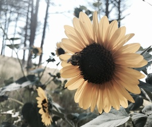 aesthetic, bee, and sunflower image