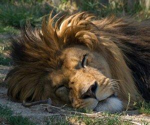 lion and sleeping image