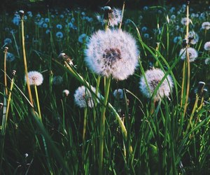 dandelions, flower, and grass image