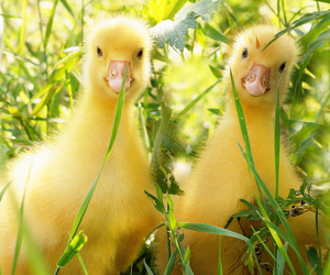 animal and duck image