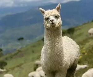 alpaca, animal, and llama image