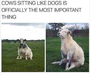 funny, cows, and lol image