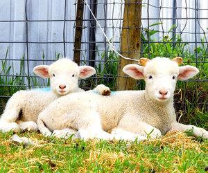 animals, lambs, and sheep image