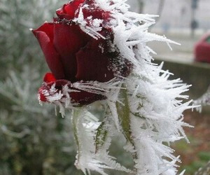 flower, ice, and red image