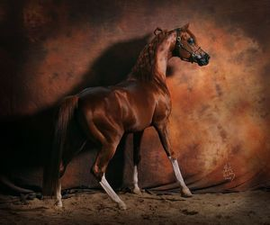 animal, horse, and arabian horse image
