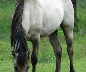 beautiful, grulla, and horse image
