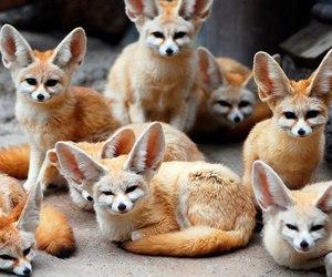 fennec fox image